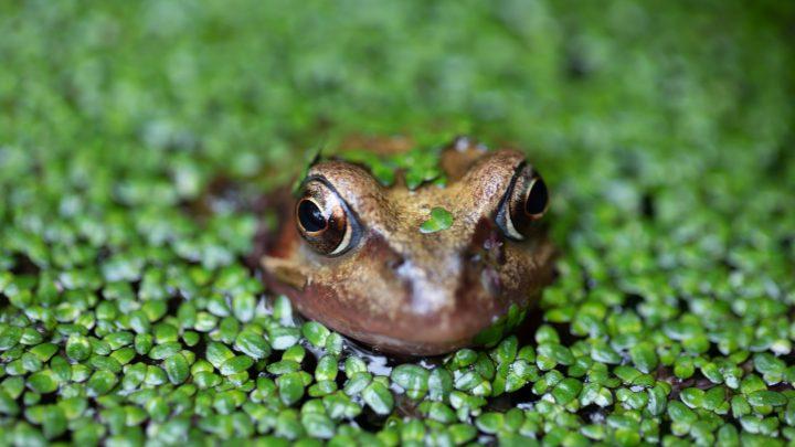 ¿Qué diferencias hay entre sapos y ranas?