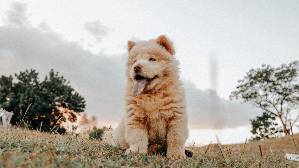 4 Razas de Perros Chinos
